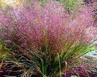 Purple Love Grass - Eragrostis Spectabilis * 25 Seeds