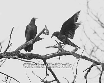 Common Raven Photography | Black and White Ravens | Pair of Birds Photo | Magestic Raven Crow Bird In Flight | Nature Art | Two Ravens Print