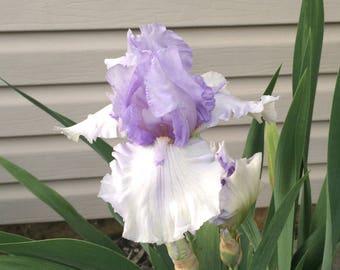 Tall Bearded Iris Lavendar Rhizome Perennial Plant Bulb