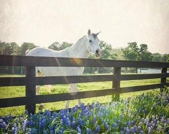 White Horse Photography Nature, Animals Horses Fine Art Photo, Landscape Print Home Decor Texas Bluebonnets Wildflowers Art Equestrian Decor
