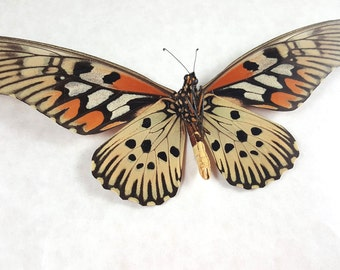 FREE SHIPPING RARE Giant Widest Wingspan Butterfly Papilio Antimachus Real Giant African Swallowtail Taxidermy Mounted Spread