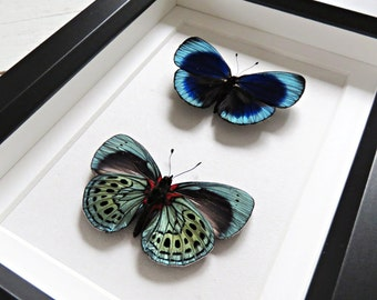 Real butterflies: Asterope leprieuri philotima // metallic shine // front & back of butterfly // shadowbox // mounted // housewarming gift
