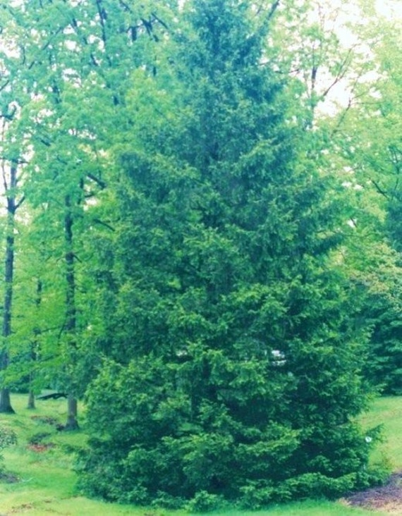 Southern red cedar trees to real live plants