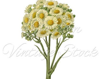 Daisy Bunch Clipart, Vintage Flower PNG, Botanical Print White Flower, Vintage Illustration for Print, Digital Artwork INSTANT DOWNLOAD 2235