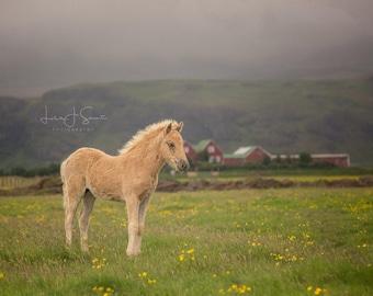 Golden Boy Icelandic Foal - Horse Photography (Equine Fine Art Print)