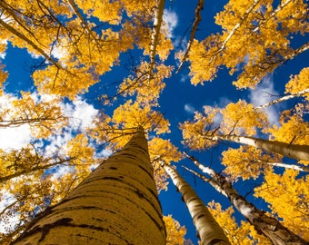 Fall Aspen Photos, Landscape Photography, Aspen Tree, Colorado Photography, Melissa Stringer, Wall Art,  Full Color Canvas and Print