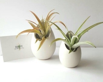 Air Plant Capitata Peach in Modern Egg Planter