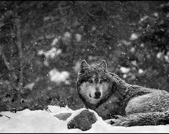 Wolf in Gévaudan - 1 of 30 copies - limited edition