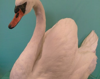 Stunning Mute Swan Taxidermy for Weddings, Parties, Photo Shoots, Banquets, Home Decor