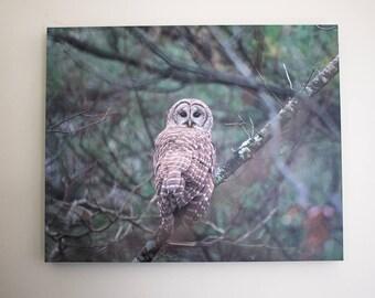 Barred Owl - 16x20 inch Canvas