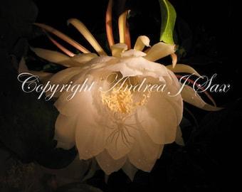Digital photo download, Flower - Evening white 01