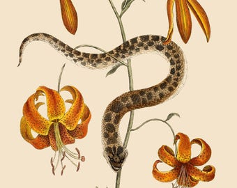 Snake and Orange Lillies - Mark Catesby ~  1740 ~ Botanical lithograph ~ Natural History of Carolina ~ Giclee Art Print - Nature Wall Art