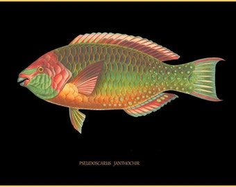 antique ichtyology french parrot fish illustration black background digital download