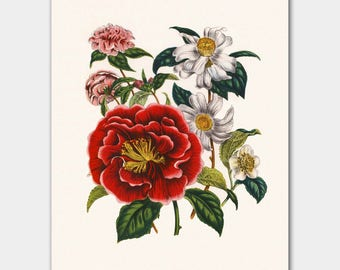"English Cottage, Art Print Flower (English Country Decor, Victorian Botanical Illustration) Jane Loudon ""Camellia"""