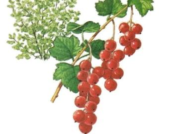 Vintage Currants Print Digital Download / Jpeg of Vintage Currants / Plant and Botanical Images / Vintage Fruit Prints