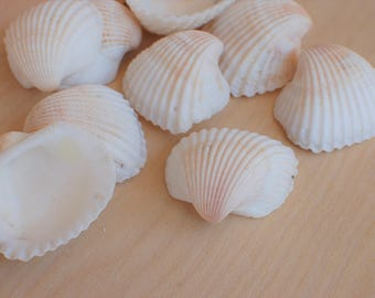 "10 Large White Ark Scallop Shells - Sized 1.5 - 2.25"" - White Sea Shells"