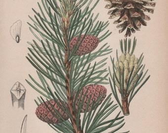 Mountain Pine, Botanical Print, Pine Tree Illustration, 1880 Antique Print, Pinus mugo, Vintage Lithograph, Botany Print, Conifer, Wall Art