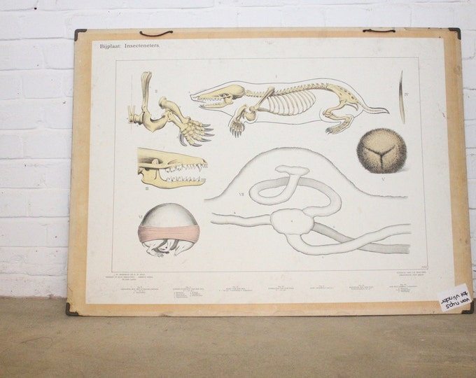 Large Anatomical Chart Of The Mole Circa 1930's