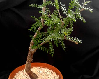 "Operculicarya decaryi #51 - African Succulent 6"" Pot * Succulent Plant * Bonsai Tree * Unusual Succulent * Tiny Delicate Leaves * Beautiful!"
