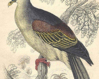 1850s Antique Hand Colored Pigeon Engraving  Bird Jardine Naturalist's Library Ornithology Vinago Aromatica