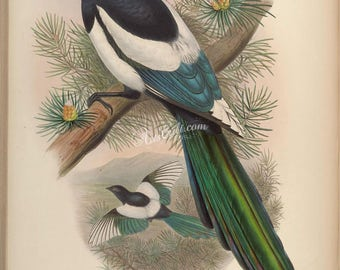 birds-15561 - White-winged Magpie, pica leucoptera, Eurasian with green tail on branch vintage illustration from ancient book picture jpeg