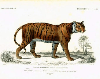 1849 Antique Tiger Print, Wild Cat, Orbigny Hand colored Lithograph Zoology Natural History, Indian Big cat