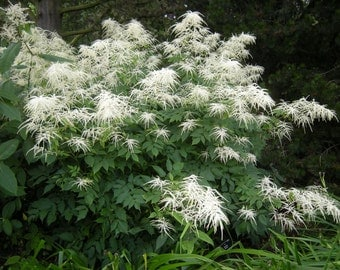 Aruncus dioicus (Goat's Beard) Plant *GROWS 4-6FT TALL* Summer Flowers Sun or Partial Shade Hardy Perennial Zones 4-8 Fertile, Moist Soil