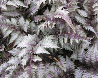 Athyrium~JAPANESE PAINTED FERN~Beautiful Foliage Plant Variegated Leaves Hardy Perennial Zones 3-8 Partial to Full Shade!