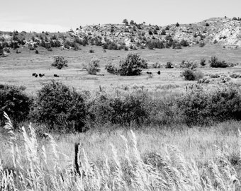 Landscape Photography - Cattle, Musselshell, Montana