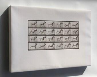 Canvas 24x36; Goat Galloping (Rbm-Qp301M8-1887-679) #031715