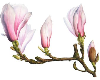 Magnolia Watercolor Illustration A3, Botanical Flower Painting, Home Decor