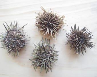 """Sea Urchin with Spines-2-3""""-2 Pieces-Unique Sea Urchin-Beach Home Decor-Pink Sea Urchin-Sea Urchin Spines-Sea Urchin-Sea Life Decor-Sea Life"""