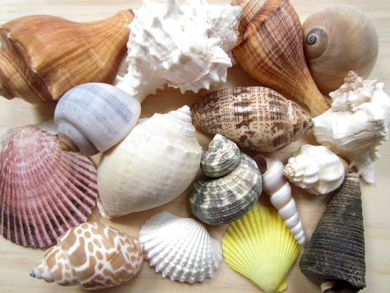 Asst sea shell mix beach wedding decor sea shells bulk bag for Bag of seashells for crafts