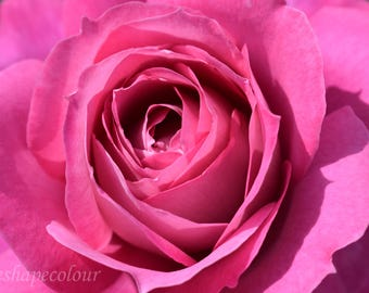 Pink rose macro - Nature photography print