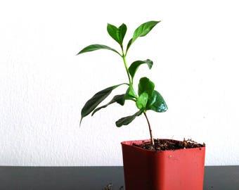 Coffee Arabica Tropical House Plant 2 Inch Pot