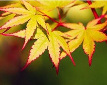 Coral Bark Japanese Maple - Beautiful Coral Red Bark. 1 - Year Live Plant
