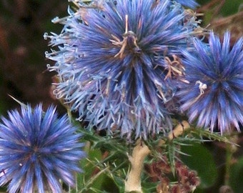 Globe Thistle (Ciscaucasia Thistle) - 50 seeds