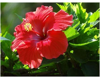Red Rose of Sharon, Red Althea, 1 Gallon Potted Plant, Red Blooms, Deciduous, Hardy, Sun Tolerant, Hedge, Shrub, Hibiscus, Hummingbirds