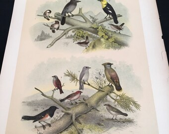 1881 Birds of North America Print - Titmouse Finches and Wren, Plate: LXXI, Color Lithograph by Jasper