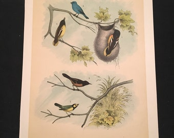 Baltimore Oriole - Plate XII, Original Color Lithograph by Jasper, 1881 Edition of the Birds of North America