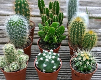 Set of 3 Mixed Cactus Plants in 6cm Pots. House Plants