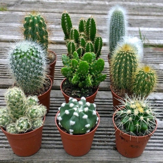 set of 3 mixed cactus plants in 6cm pots house plants. Black Bedroom Furniture Sets. Home Design Ideas