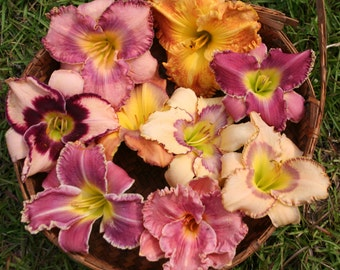 Day Lilies Spring Special