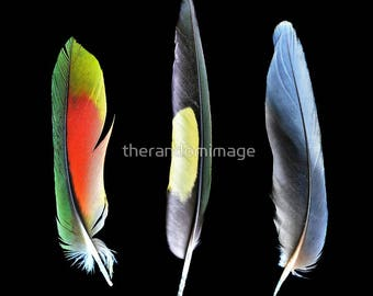 Feathers, Three Feathers, Feather Wall Art, Feather Photography, Lorikeet Feathers, Modern Art, Large Wall Prints, 'Trilogy'.