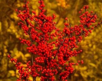 Berry Heavy Winterberry Holly 1 Gallon