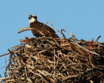 Osprey Bird Photograph, Nature Photography