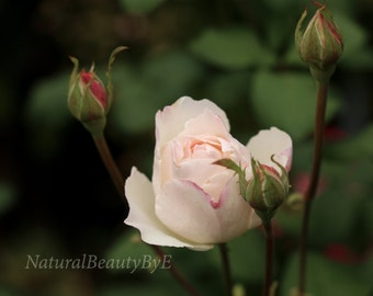queen elizabeth rose print, flower photography, nature photography, elegant classic rose,pink and white garden rose,floral wall art,fine art