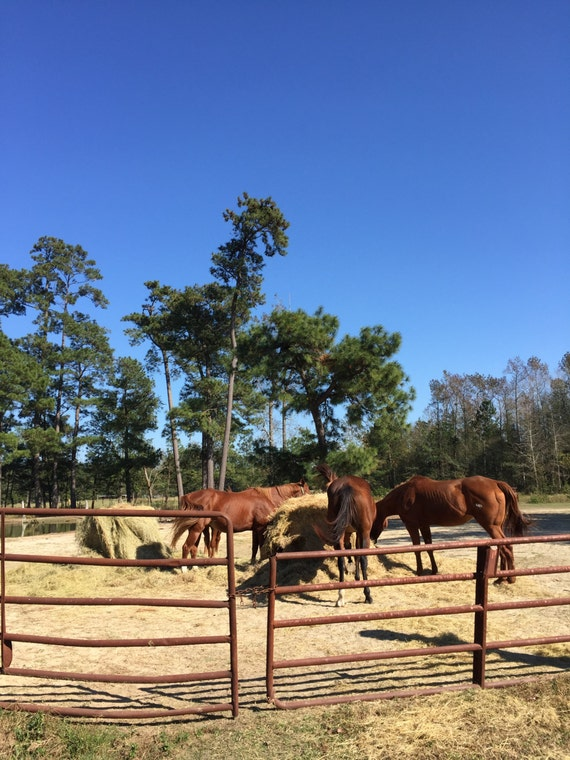 Horses Eating - Picture of Horses - Photograph - Rural Photo - Countryside Picture - Photograph of Horses Eating