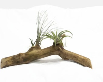 Air Plant Planter - Air Plant - Air Plants on Wood - Air Plant Gift - Tillandsia - Air Plants - Air Plant Centerpiece - Natural Decor -