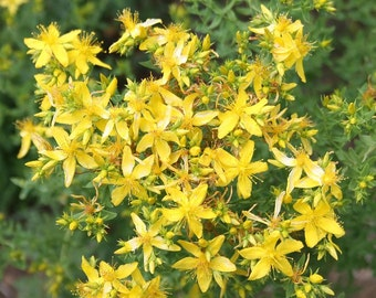 Seeds of St. John's wort - Hypericum perforatum